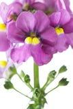 Nemesia flowers closeup Stock Photos