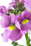 Nemesia flowers closeup. On white background Royalty Free Stock Images