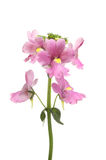 Nemesia flowers isolated. Pink Nemesia flowers isolated against white Royalty Free Stock Photography
