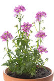 Nemesia flowers on white background Stock Image