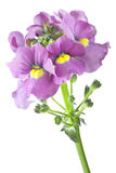 Nemesia flowers on white background Stock Photos