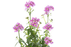 Nemesia flowers on white background Stock Photography