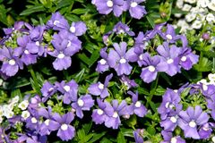Nemesia fruticans `Bluebird`. Ground cover ornamental with oval toothed green leaves and blue-purple flowers with pale yellow to nearly white eye, excellent Royalty Free Stock Photography