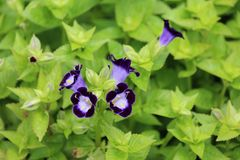 Nemesia grouping in dark blue. Nemesia flowers in blue Royalty Free Stock Images