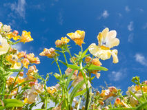 Nemesia sp. flowers close-up against blue sky Stock Image