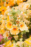 Nemesia strumosa Royalty Free Stock Photo