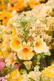 Nemesia strumosa. Beautiful garden flower Nemesia strumosa Royalty Free Stock Photo
