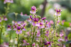 Nemesia strumosa ornamental flowers in bloom, purple violet with yellow center. Magic sunlight Royalty Free Stock Images