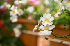 Nemesia strumosa ornamental flowers in bloom, white with yellow center. Flower detail Stock Photos