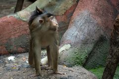 Nemestrina del Macaca Macaque con coletas del mono Escena de los animales foto de archivo libre de regalías