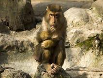nemestrino macaque Стоковая Фотография