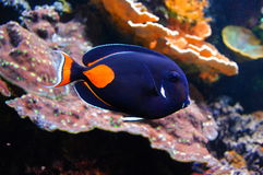 Nemo上尉 免版税库存图片