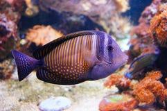 Nemo上尉II 免版税库存图片