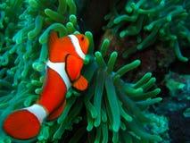 Nemo查找了 免版税库存照片