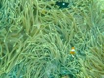 Nemo鱼和银莲花属 图库摄影