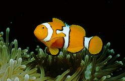 Nemo à la maison Photographie stock libre de droits
