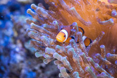 Nemo στη θάλασσα anemones Στοκ Εικόνες