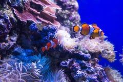nemo ψαριών κλόουν Στοκ φωτογραφία με δικαίωμα ελεύθερης χρήσης
