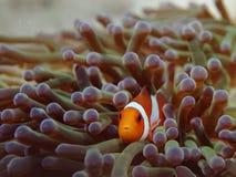 Nemo рыбы ветреницы клоуна стоковая фотография