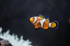 Nemo Royalty Free Stock Photos