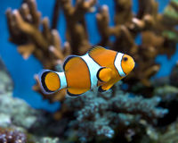 Nemo 2 Royalty Free Stock Photo