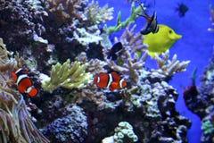 Nemo Fotografia de Stock Royalty Free