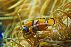 Nemo. Lonely clown fish around a coral Stock Image