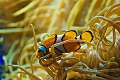 Nemo Stock Afbeelding