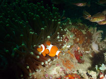 Nemo. Clown Fish on Soft Coral royalty free stock photo