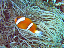 Nemo. Barrier reef anemonefish (Amphiprion akindynos) hiding between tentacles of anemone Stock Photo