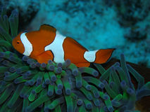 Nemo Royalty Free Stock Photo