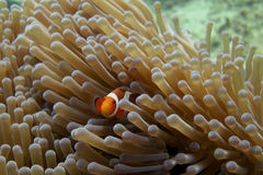 Nemo Royalty Free Stock Image