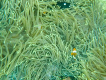 Nemo anemon i ryba fotografia stock