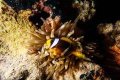 Nemo in anemone Fotografie Stock