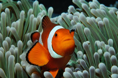 Nemo in anemone. Amphiprion (Western clownfish (Ocellaris Clownfish, False Percula Clownfish)) is hiding in anemone, Puerto Galera, Philippines Royalty Free Stock Image