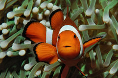 Nemo and anemone. Amphiprion (Western clownfish (Ocellaris Clownfish, False Percula Clownfish)) is hiding in anemone, Puerto Galera, Philippines Stock Images