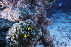 Nemo in Anemone. A small orange Anemonefish is hiding Stock Image