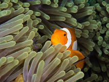 Nemo in anemone. There is anemone shrimp in front of Nemo Royalty Free Stock Photo