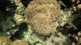 Nemo Anemonefish family Stock Photos