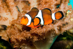 Nemo błazenu ryba Fotografia Stock
