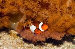 Nemo błazenu ryba Zdjęcia Stock