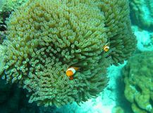 Nemo. The Nemo Cartoon Fish in underwater by Snorkeling Stock Image
