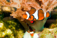 Nemo Clown Fish Royalty Free Stock Image