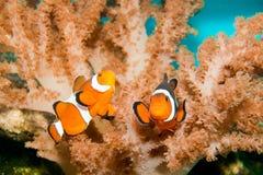 Nemo Clown Fish Stock Photos