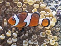 Nemo Clown Fish. This clown fish image was captured at the Wild Kingdom Pavilion at the Henry Doorly Zoo Stock Image