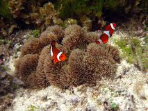 Nemo the clownfish Stock Image