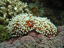 Nemo the clownfish Stock Photos