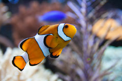 Nemo (clownfish, anemonefish, Amphiprioninae) Royalty Free Stock Photography