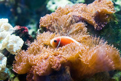 Nemo (clownfish, anemonefish, Amphiprioninae) Royalty Free Stock Photos