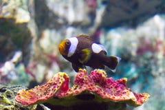 Nemo clownfish. In aquarium Stock Images